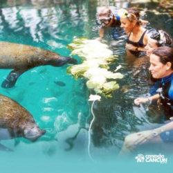 encontro-com-peixe-boi-dolphin-discovery-cozumel-cancun-isla-mujeres-peixe-boi-comendo
